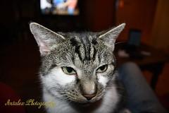 Kater Mikesh (Sandro Ramscheidt) Tags: cats katzen kater