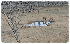 Everything Wild (The Spirit of the World ( On and Off)) Tags: india nature landscape nationalpark wildlife safari waterhole gamepark ranthambhore wildlifereserve thegalaxy spotteddeer gamereserves nationalparkofindia malespotteddeer rememberthatmomentlevel1 ranthambhorelandscape femalespotteddeer