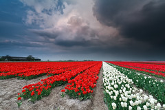dramatic thunderstorm over tulip field in spring (Olha Rohulya) Tags: travel blue red sky cloud white storm flower holland green nature netherlands dutch field weather rural dark season landscape outside outdoors spring scenery view blossom farm seasonal scenic meadow culture dramatic nobody nopeople row farmland tulip bloom thunderstorm groningen agriculture cultivated