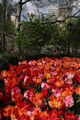 Empire State tulips (LSydney) Tags: newyorkcity newyork spring tulips empirestatebuilding madisonsquarepark floers
