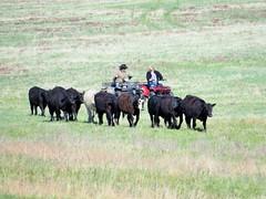 Roundup (Patricia Henschen) Tags: colorado cattle angus atv roundup castlerockcolorado castlewoodcanyonstatepark