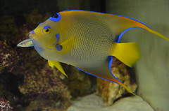 The Queen Angel- the blue hue enhances the beauty of the fish (oldandsolo) Tags: fauna abudhabi uae unitedarabemirates fishtank samhaabudhabi zoo zoologicalgardens emiratesparkzoo marineanimals aquaticanimals fish angelfish marineangelfish pomacanthidae queenangelfish