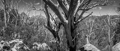 macs point panorama (liam.jon_d) Tags: blackandwhite bw monochrome landscape mono nationalpark arty australian australia roadtrip victoria alpine vic np alp ontheroad mountbuffalo snowymountains greatdivide greatdividingrange australianalps billdoyle mountbuffalonationalpark macspoint greatgraniteplateau tripdec14jan15