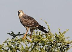 """Southern Pale Chanting Goshawk (Juvenile) """"Staredown"""" (girlslens) Tags: africa botswana kalahari goshawk southernpalechantinggoshawk"""