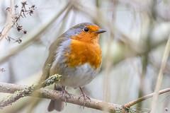 Robin (warren hanratty) Tags: nature robin erithacusrubecula wildlife gloucestershire cotswoldwaterpark wildbird passerine warrenhanrattyphotography
