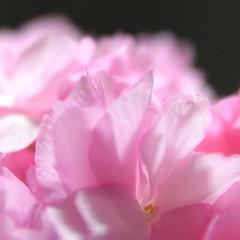 Cherry Blossoms (rambleJP) Tags: plants flower macro nikon focus soft sigma 桜 花 f28 マクロ さくら サクラ 1850mm hsm 鼻 d3200 ✿