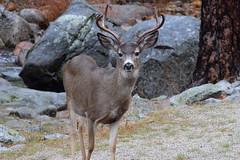 Winter Buck II (rschnaible) Tags: california park wild usa mountains west male animal us nevada horns sierra deer national rack yosemite western horn buck mule horned odocoileus hemionus
