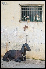 """Goat for Meat :( • <a style=""""font-size:0.8em;"""" href=""""https://www.flickr.com/photos/53502454@N07/16353107067/"""" target=""""_blank"""">View on Flickr</a>"""