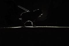 4/52 Eliot... Di Notte (ArcticPug) Tags: backlight night pug flashlight atnight rimlight 52weeksfordogs