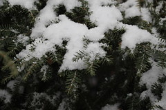 IMG_7603 (ShellyS) Tags: nyc newyorkcity winter snow streets queens bushes