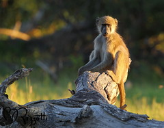 """Chacma Baboon """"Sunrise"""" (girlslens) Tags: africa baboon botswana okavangodelta chacmababoon vumbura"""