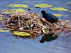 Back on her nest . (Franc Le Blanc .) Tags: bird fauna lumix nest panasonic coot zeedijk elshoutsewielen