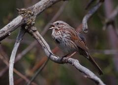 Song Sparrow (Christopher Lindsey) Tags: birds washington spring singing birding may songsparrow wallawallacounty coppeicreek