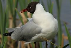 Black Headed Gull (WhitePointer) Tags: leightonmoss rspb blackheadedgull