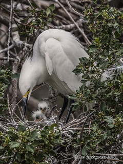 Tiny Egret Chicks