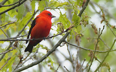 scarlet tanager (sttweston) Tags: fz200 e17ed