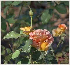 Pick of the bunch (idunbarreid) Tags: roses doublefantasy