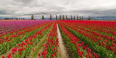 Skagit Valley Tulips (CraigGoodwin2) Tags: washington tulips skagitvalley