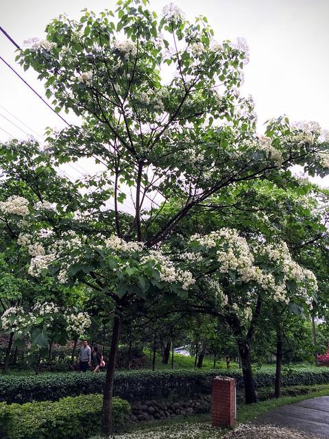 盛開的桐花樹