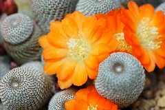 /Aylostera heliosa (nobuflickr) Tags: flower nature apan  osakapref  turumiryokuchpark awesomeblossoms aylosteraheliosa 20160423dsc08303