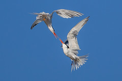 Courting in the Air (OC Birds) Tags: california bird nature animal wildlife birdsinflight huntingtonbeach bolsachica