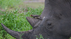 Suedafrika-15 (Lukas P Schmidt) Tags: nationalpark krugerpark nashorn