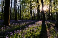 In the shadows of Giants (David Raynham) Tags: uk trees colour sunrise woodland landscape nikon shadows ngc may d750 fullframe fx hertfordshire lowsun 2016 ashridgeestate blurbells nikkor2470mmf28g