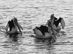Pelicans in black and white (Merrillie) Tags: sea blackandwhite nature water monochrome animals fauna bay nikon scenery waterfront wildlife australia pelican views nsw brisbanewater woywoy d5500 nswcentralcoast centralcoastnsw