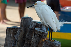 Garas (Ardeidae) (felipe sahd) Tags: brasil aves garas maranho nordeste ardeidae riopreguias avesciconiformes madacaru