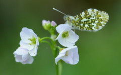 At last! (nick edge) Tags: macro nature wales butterfly nikon bokeh wildlife butterflies explore naturephotography cuckooflower orangetip anthochariscardamines orangetipbutterfly sigma105mm wildlifephotography explored britishbutterflies butterflyconservation nikond7100
