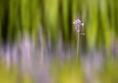 Bluebell Dreams (Chris Willis 10) Tags: wood blur flower woodland dreams bluebell