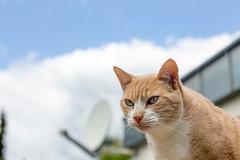 Stanley (No_Water) Tags: red white cat de deutschland ginger tabby tiger stanley badenwrttemberg ebersbachanderfils
