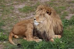 Lion (dariusz_ceglarski) Tags: park cat kat chat lion safari gato katze mace bergen  macska tilburg gatto kot lew koka kedi kass safaripark  katt kato lwe kissa kttur maka kucing leeuw beekse hilvarenbeek  pisic