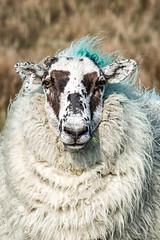 Only Ewe (Estuary Pig) Tags: ireland portrait nature sheep northernireland castlewellan ewe codown