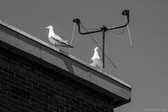 """""""radio ga ga"""" IJmuiden (kramerich10) Tags: meeuwen zilvermeeuw havengebiedijmuiden"""