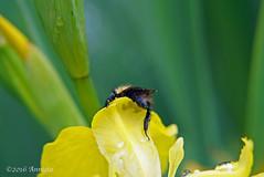 Lost in yellow ( Annieta  - on/off) Tags: flower netherlands fleur juni garden spring flora sony nederland jardin tuin lente allrightsreserved bloem 2016 krimpenerwaard annieta a6000 usingthispicturewithoutpermissionisillegal