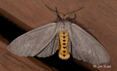 # 8238 – Euchaetes egle – Milkweed Tussock Moth (Wildreturn) Tags: euchaetes milkweedtussockmoth hodges8238 euchaetesegle missouri moth mo mothsofmissourifieldguide mothsofmissouri mmfg moths june usa lepidoptera insects insecta insect columbia