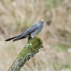 Cuckoo (Margaret S.S) Tags: european common cuckoo