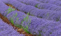 Bridestowe Lavender Estate (scrumpy 10) Tags: plants nature colors landscape nikon estate violet lavender tasmania scrumpy d800 tasmanien jacqualine nabowla scrumpy10 bridstowe bkidestowelavenderestate