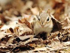 Chipmunk in the Leaves (Karen_Chappell) Tags: travel brown cute nature leaves animal bokeh ottawa chipmunk stonyswamp