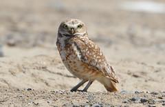 Burrowing Owl 6-15-16 (Carol Riddell) Tags: bird owl othello adamscounty burrowingowl washingtonbirds