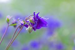 Columbine (paulapics2) Tags: blue green nature floral garden spring flora bokeh blumen aquilegia l canon5d columbine fiori printemps grannysbonnets sigma105mm hydehallgardens frhuling