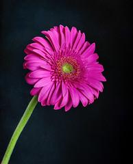 Violet daisy (tmuriel67) Tags: flowers flores nature colours colores daisy margarita violeta