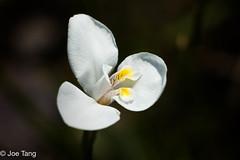 A white flower (q.joe.tang) Tags: plants white flower macro flowersplants