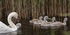 Swan Family (Roantrum) Tags: swans hertfordshire cygnets muteswan cygnusolor roantrum rspbryemeads