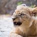 Grumpy looking lion cub