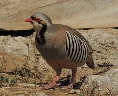 DSCN8969_chukar (nbc_2011) Tags: bird animalplanet partridge gamebird planetearth chukar chukarpartridge