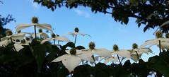 - petits parapluies - (Jac Hardyy) Tags: flowers blue sky white flower umbrella japanese petals blossom small blossoms chinese himmel stamens petal korean stamen bloom dogwood blooms blau umbrellas petits blte bltenbltter petit regenschirme parapluie blten kleine schirme cornus japanischer regenschirm schirmchen kousa schirm weis bltenblatt staubbltter hartriegel parapluies staubblatt bltenhartriegel