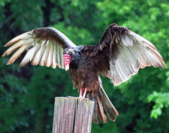 IMG_2892 (lbj.birds) Tags: bird nature wildlife kansas vulture flinthills turkeyvulture