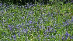 blue and the green 02 (byronv2) Tags: park flowers plant flower colour green nature bluebells rural scotland countryside flora glasgow monet impressionist milngavie mugdock mugdockcountrypark